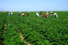 KERN COUNTY, CA - MAY 6, 2015: Mexican-American farm workers are hoeing between rows of potatoes, I-9 immigrant worker compliance issues